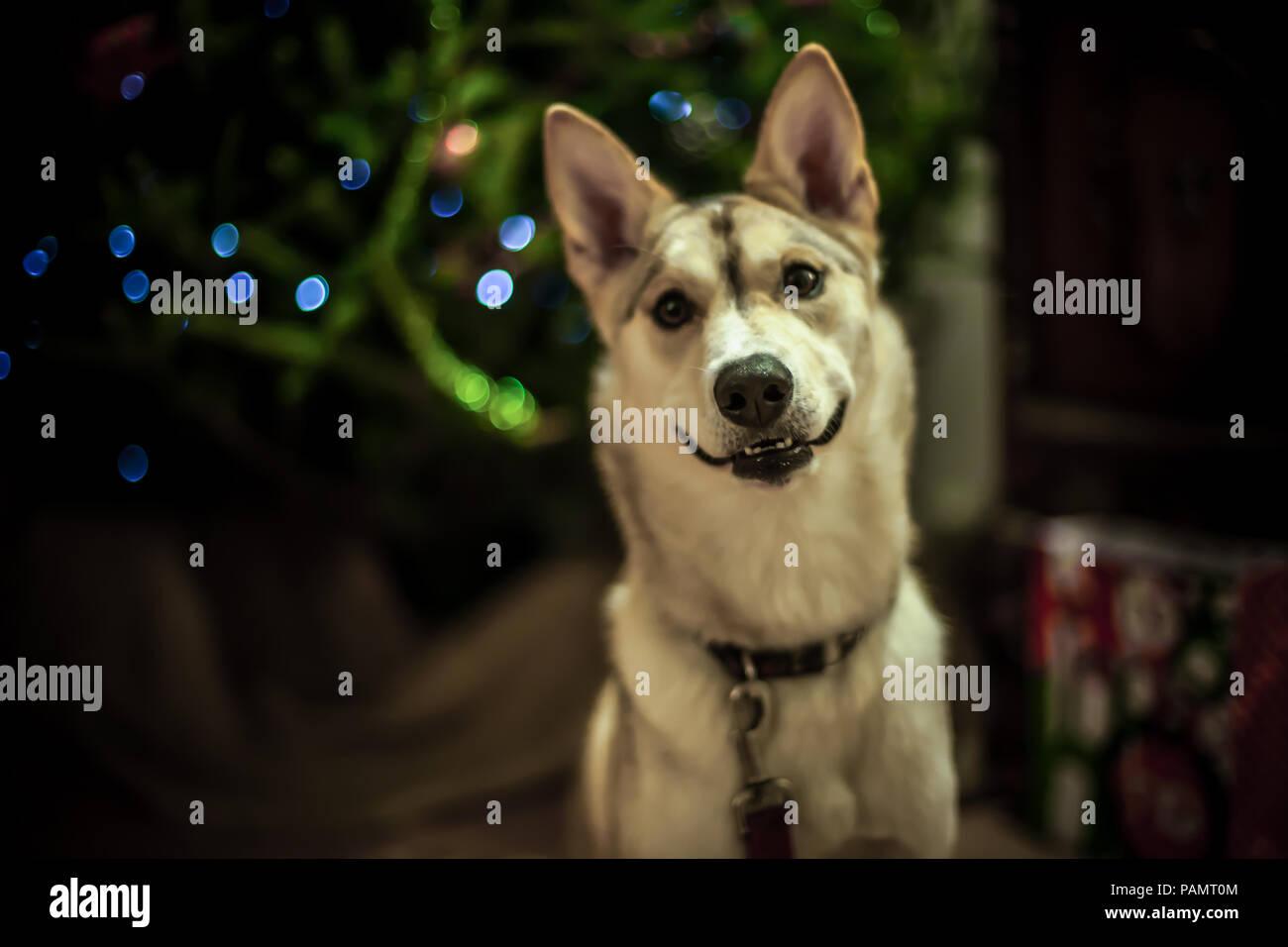 Smiling alaskan husky dog in front of christmas tree - Stock Image