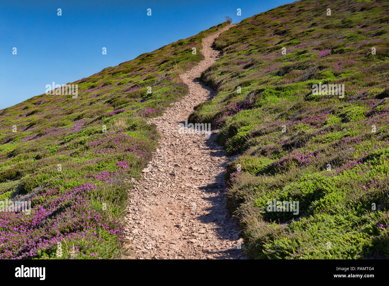 The South West Coast Path crossing heather covered moorland near St Agnes Head, Cornwall, UK. - Stock Image