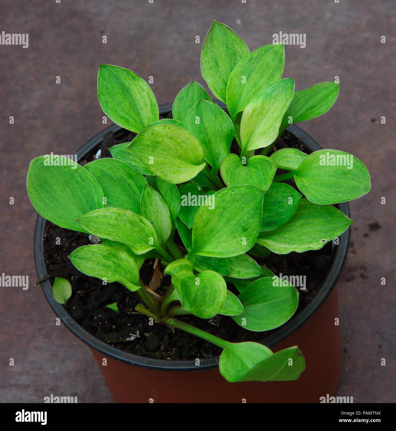 This pretty Hosta plant has beautiful leaves with dark greens and lime fleacking - Stock Image