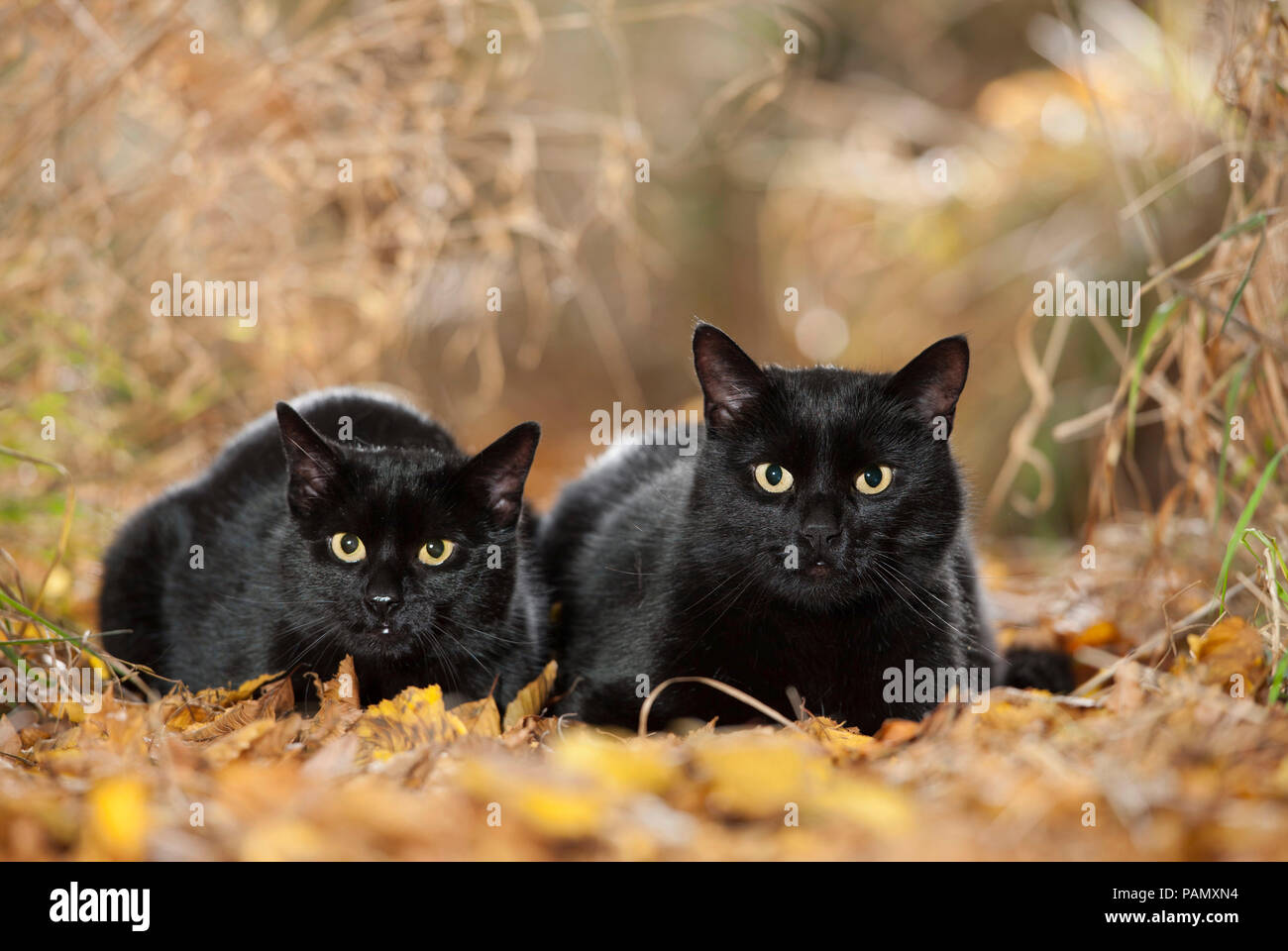 Domestic cat. Pair of black adults lying in leaf litter. Germany - Stock Image