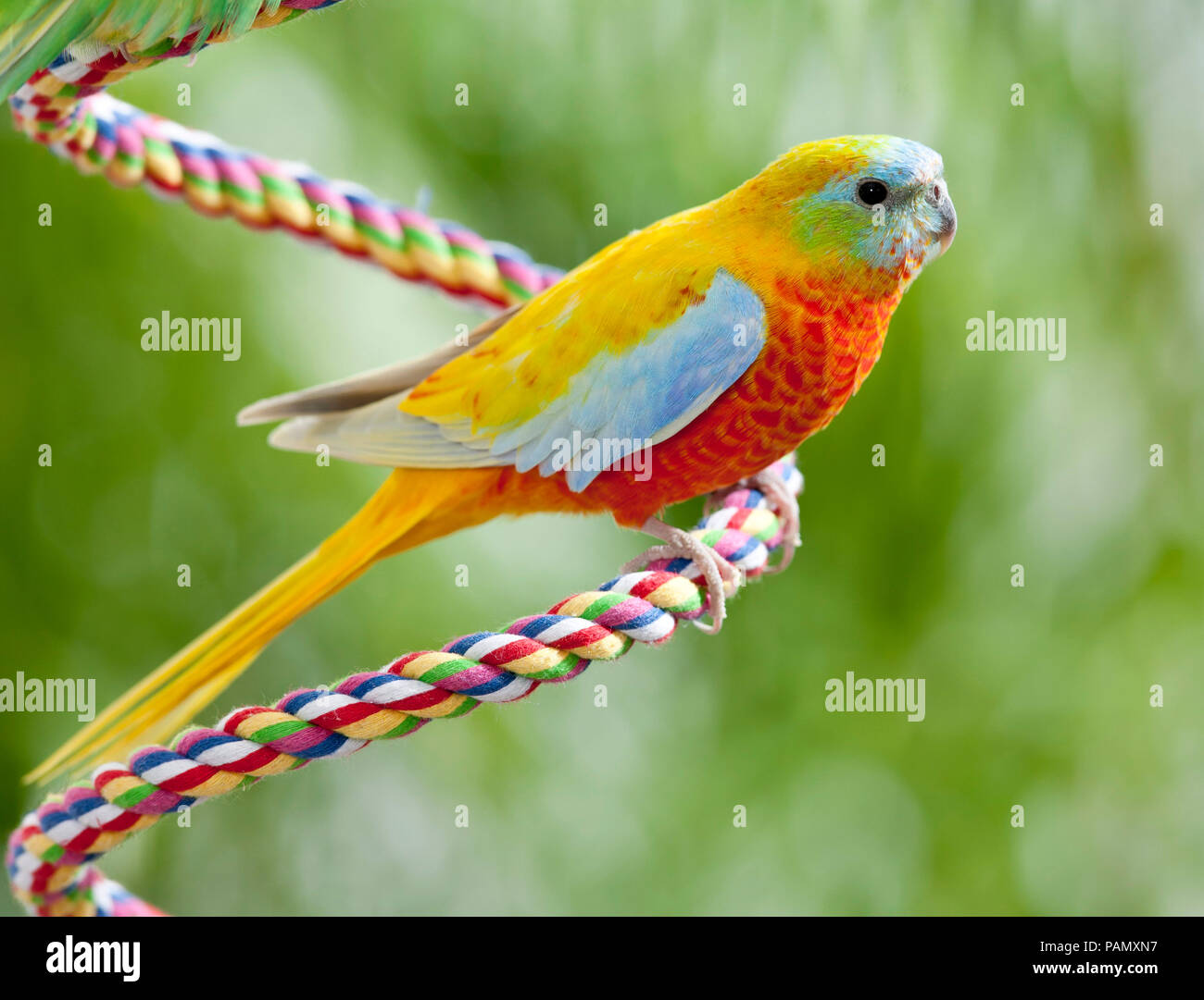Turquoise Parrot (Neophema pulchella). Adult bird perched on a rope. Germany. - Stock Image