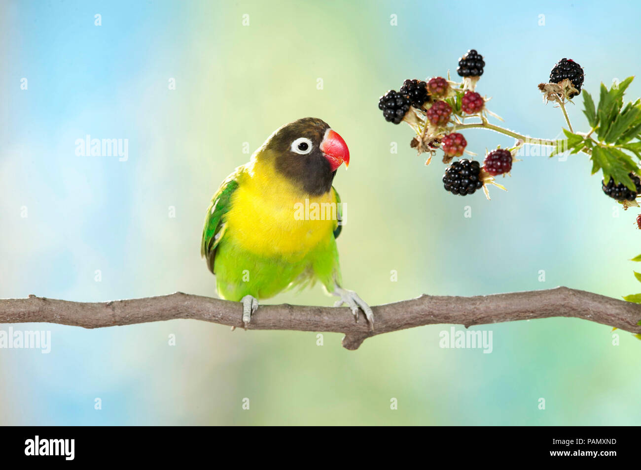 Masked Lovebird (Agapornis personatus). Adult perched on a twig next to ripe brambles. Germany - Stock Image