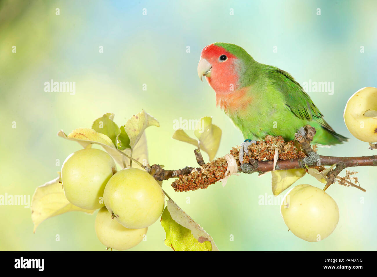 Rosy-faced Lovebird (Agapornis roseicollis) perched on a twig with ripe apples. Germany - Stock Image