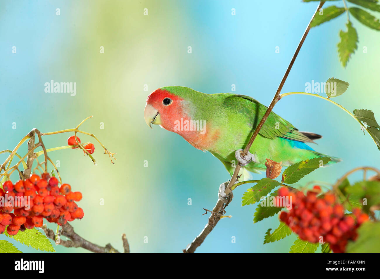 Rosy-faced Lovebird (Agapornis roseicollis). Adult bird perched on twig with ripe Rowan berries. Germany. - Stock Image