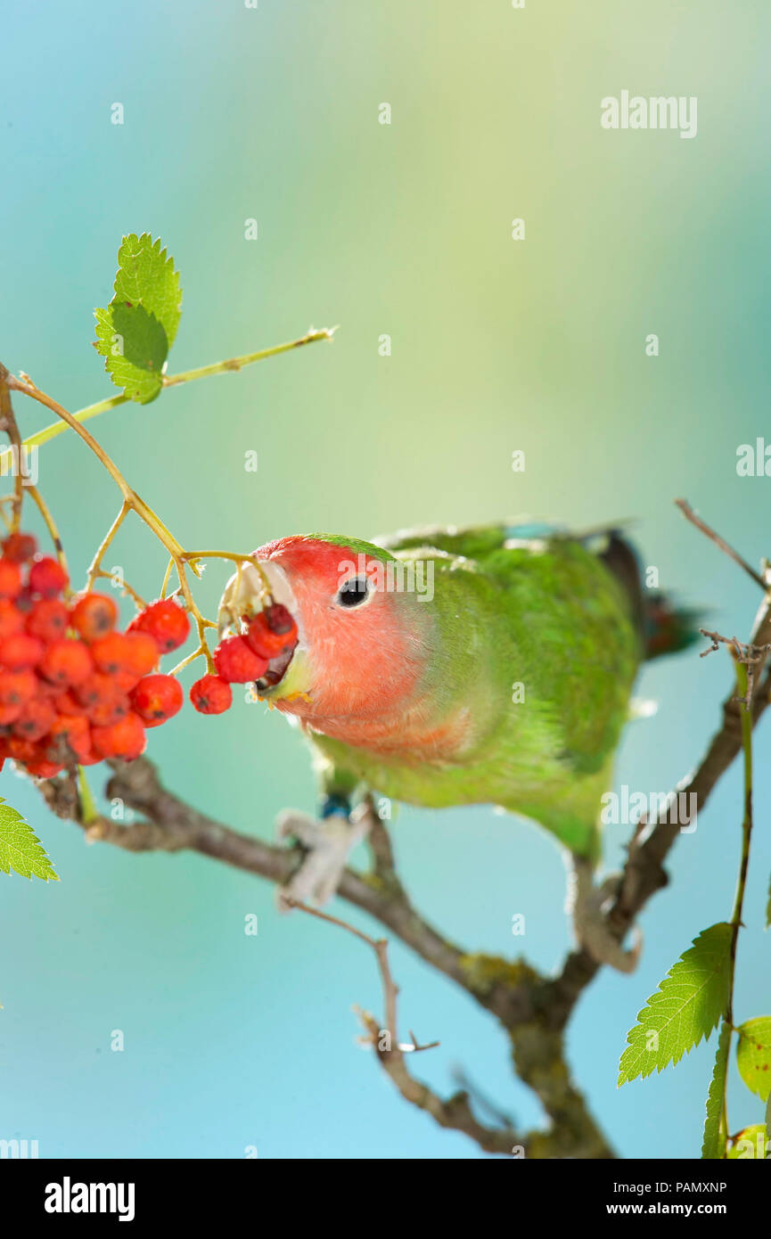 Rosy-faced Lovebird (Agapornis roseicollis). Adult bird perched on twig while eating Rowan berries. Germany. - Stock Image