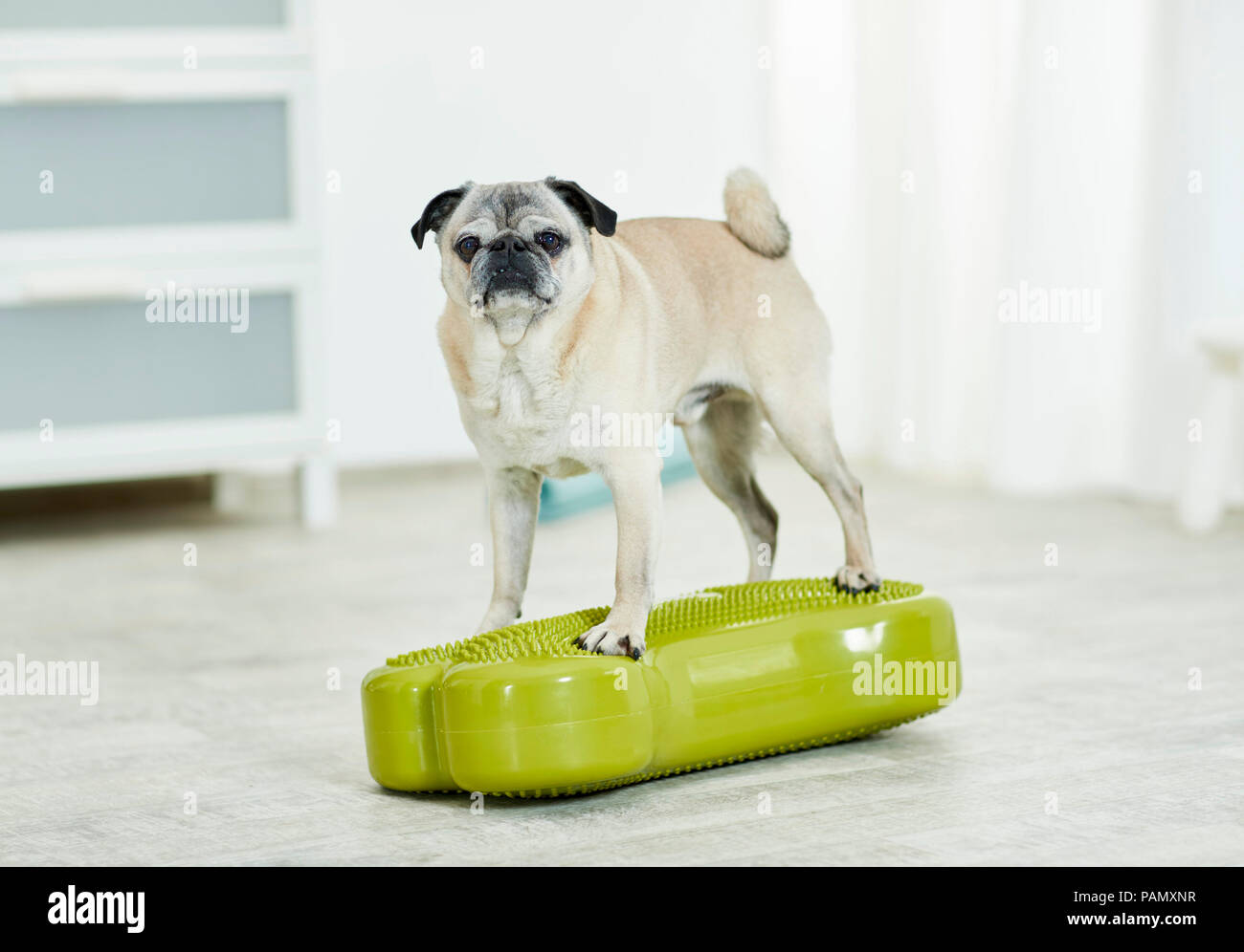 Physical therapy: Old pug standing on a balance board, a coordination exercise. Germany - Stock Image