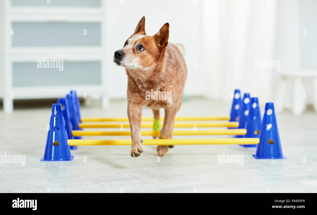Physical therapy: Australian Cattle Dog walking over cavaletti, a coordination exercise. Germany - Stock Image