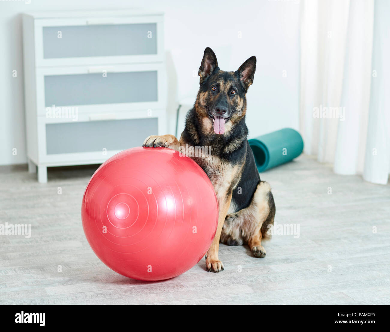 Physical therapy: German Shepherd, Alsatian sitting next to exercise ball. Germany. - Stock Image