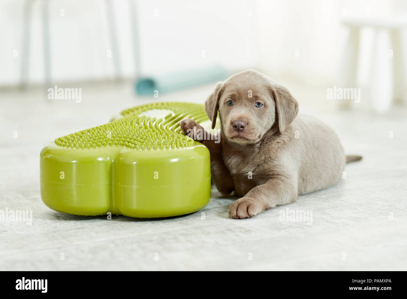 Physical therapy: Labrador Retriever puppy lying next to balance board, a tool used for coordination exercise. Germany - Stock Image