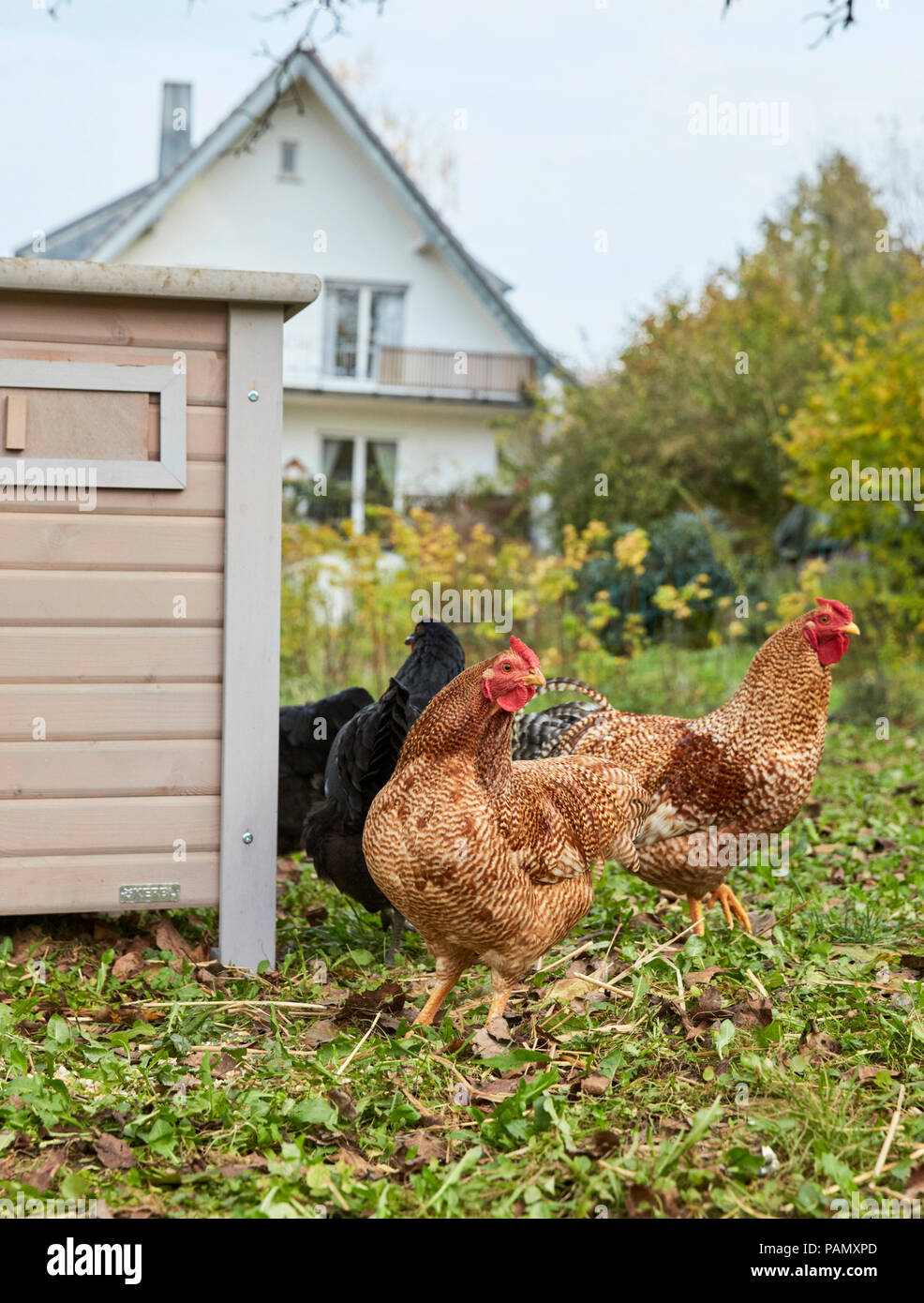 Domestic chicken. Hens in front of hen house in a garden. Germany. - Stock Image