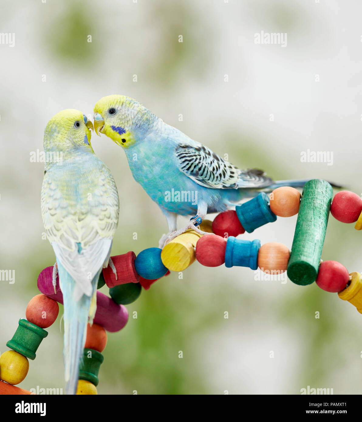 Rainbow Budgerigar, Budgie (Melopsittacus undulatus). Two adults billing on a multicolored toy. Germany - Stock Image