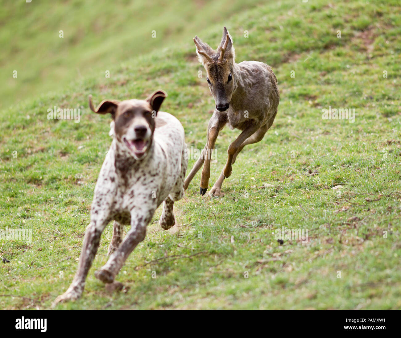 Adult German Shorthaired Pointer being chased by Roe Deer buck. Germany - Stock Image