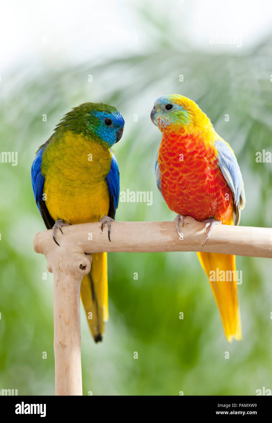 Turquoise Parrot (Neophema pulchella). Two birds on a perch. Germany. - Stock Image