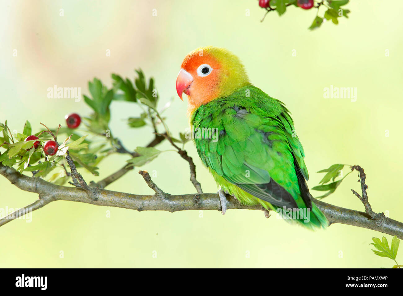Lilians Lovebird, Nyassa Lovebird (Agapornis lilianae). Adult perched on a hawthorn twig.  Germany - Stock Image