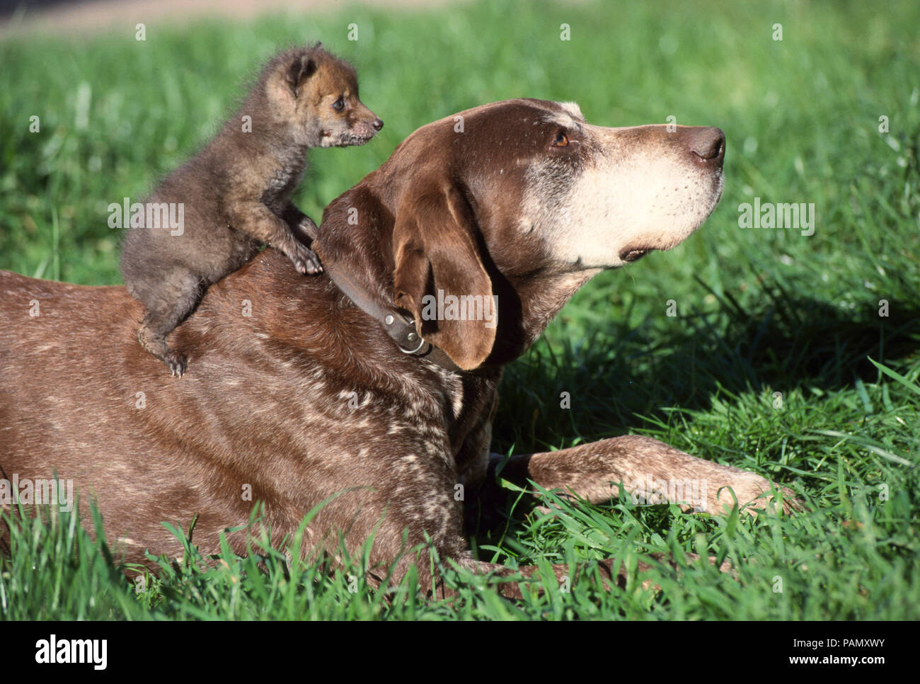 Animal friendship: German Shorthaired Pointer and young red fox (Vulpes vulpes) on a meadow. Germany - Stock Image