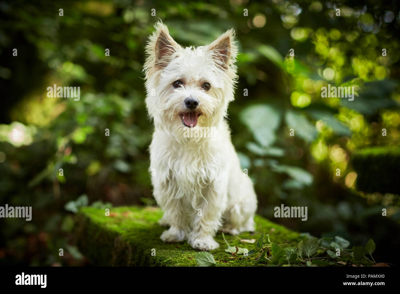 Mixed-breed dog. Adult dog sitting on a mossy rock. Germany - Stock Image