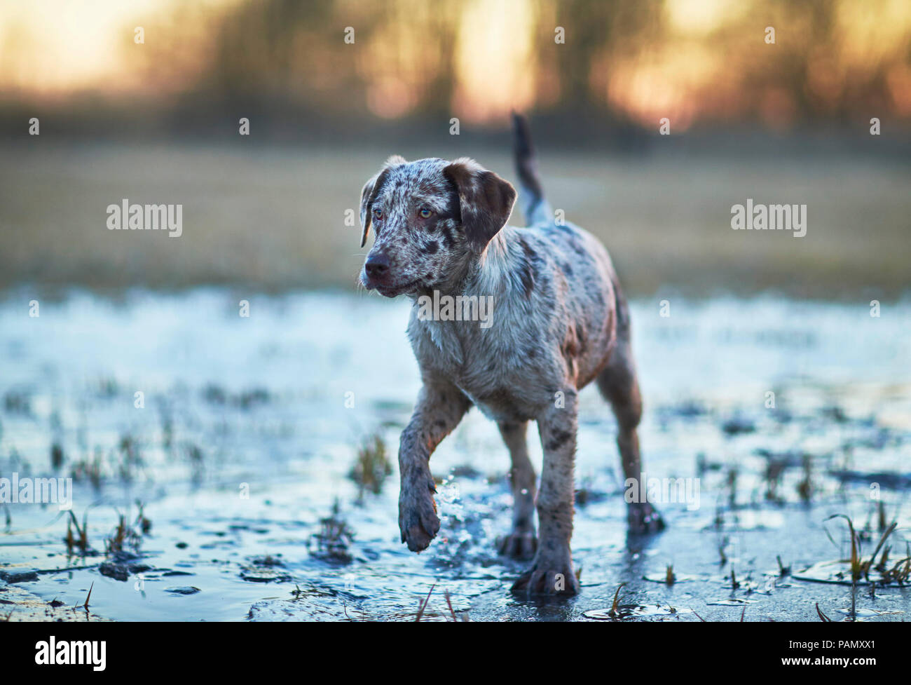 Mixed-breed dog. Puppy dog walking on frozen puddle at dusk. Germany - Stock Image