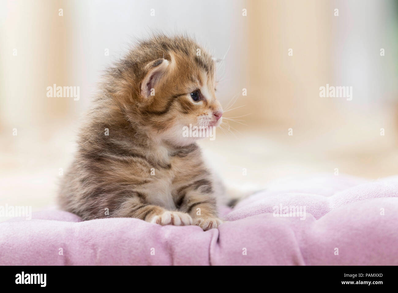 Norwegian Forest Cat. Tabby kitten (5 weeks old) on a blanket. Germany, - Stock Image