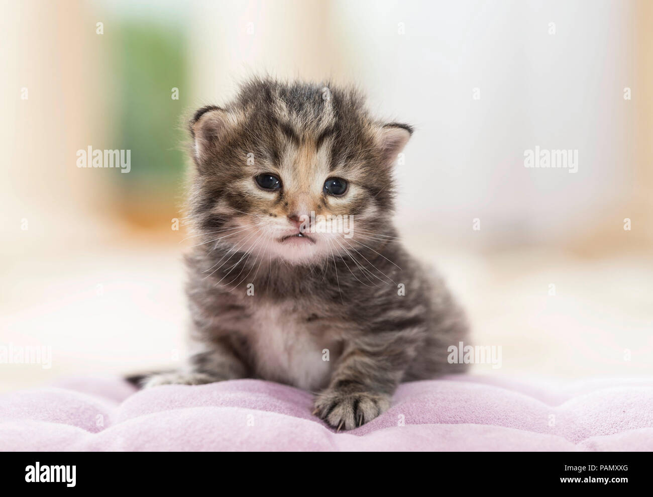Norwegian Forest Cat. Tabby kitten (5 weeks old) lying on a cushion. Germany, - Stock Image