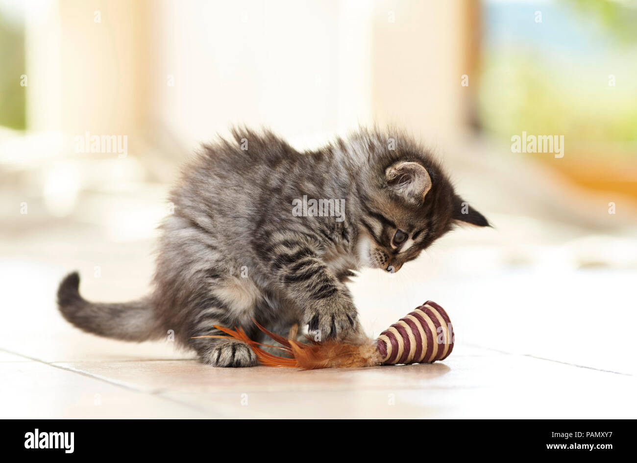 Norwegian Forest Cat. Kitten playing with toy on tiled floor. Germany - Stock Image