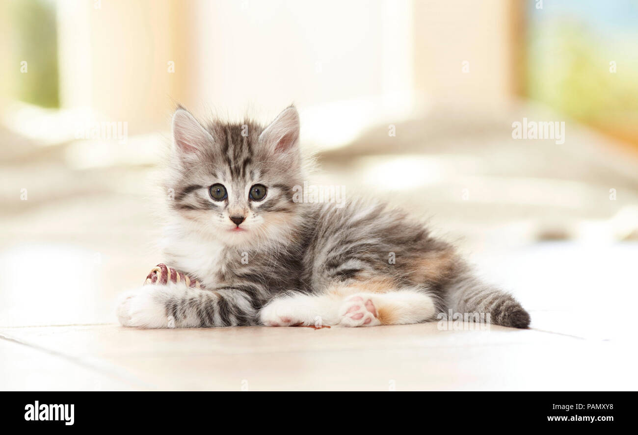 Norwegian Forest Cat. Kitten with toy lying on tiled floor Germany - Stock Image