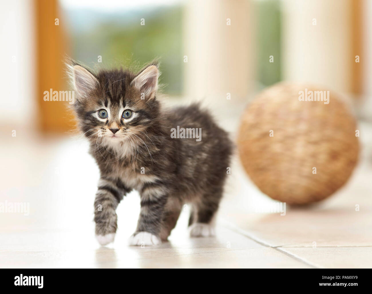 Norwegian Forest Cat. Kitten walking on tile floor. Germany - Stock Image