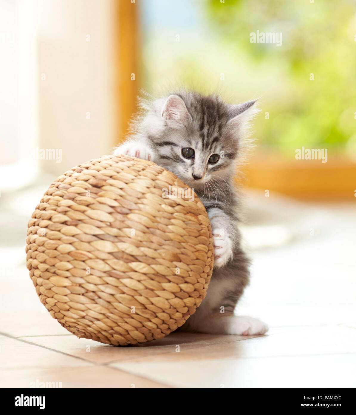 Norwegian Forest Cat. Kitten playing with a ball. Germany - Stock Image