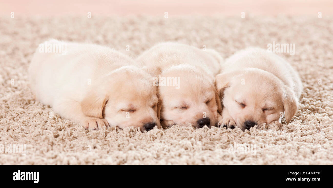 Labrador Retriever. Three puppies sleeping on a rug. Germany - Stock Image