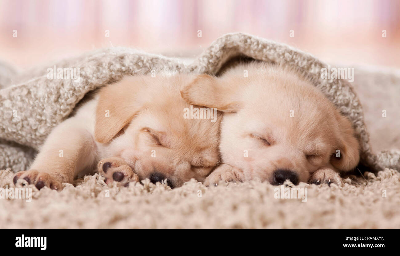 Labrador Retriever. Two puppies sleeping under a blanket. Germany - Stock Image
