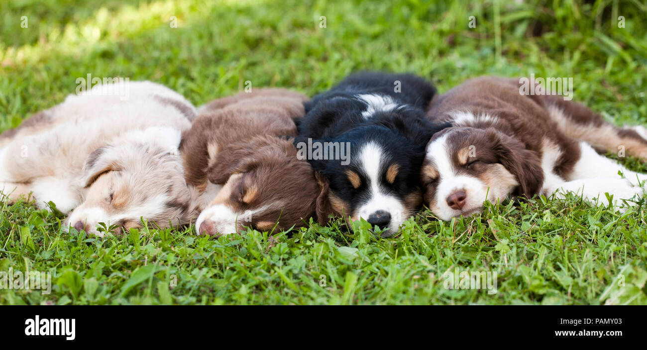 Miniature Australian Shepherd. Four puppies sleeping on a meadow. Germany - Stock Image
