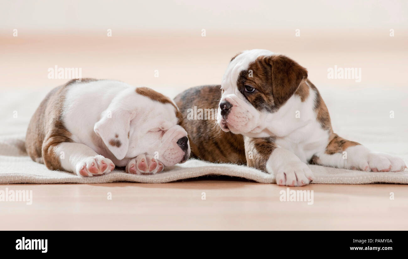Continental Bulldog. Two puppies dozing and sleeping on a rug. Germanyn - Stock Image