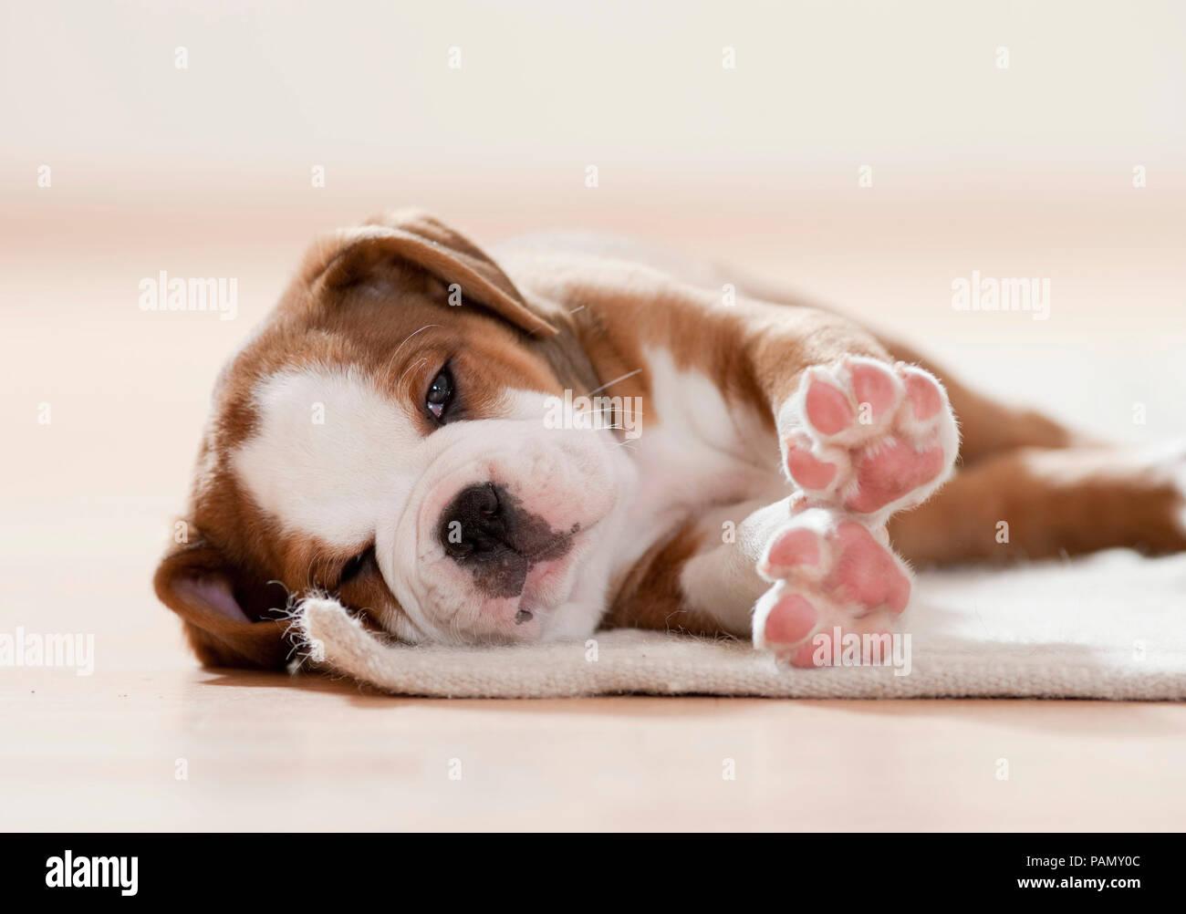 Continental Bulldog. Puppy dozing on a rug. Germany - Stock Image