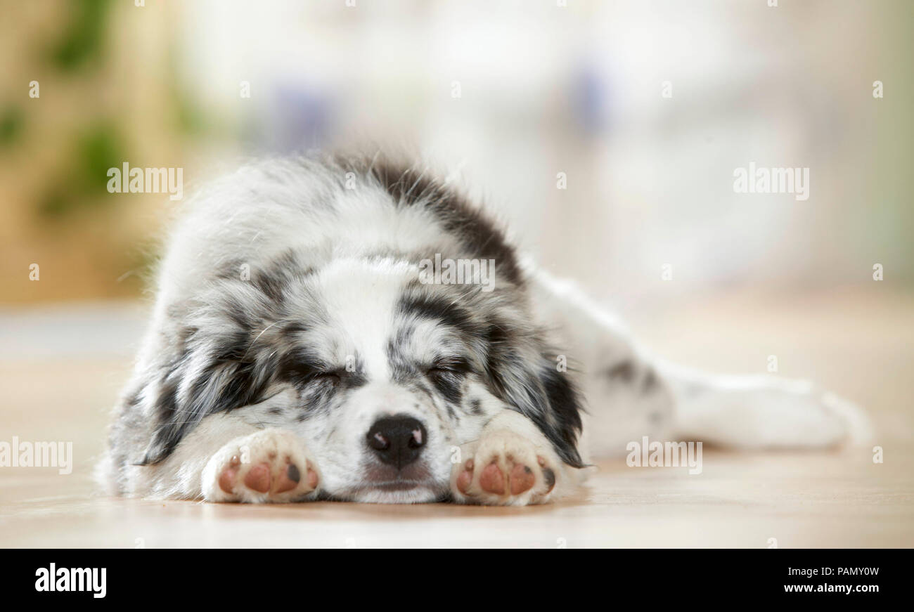 Border Collie. Puppy sleeping on parquet. Germany - Stock Image