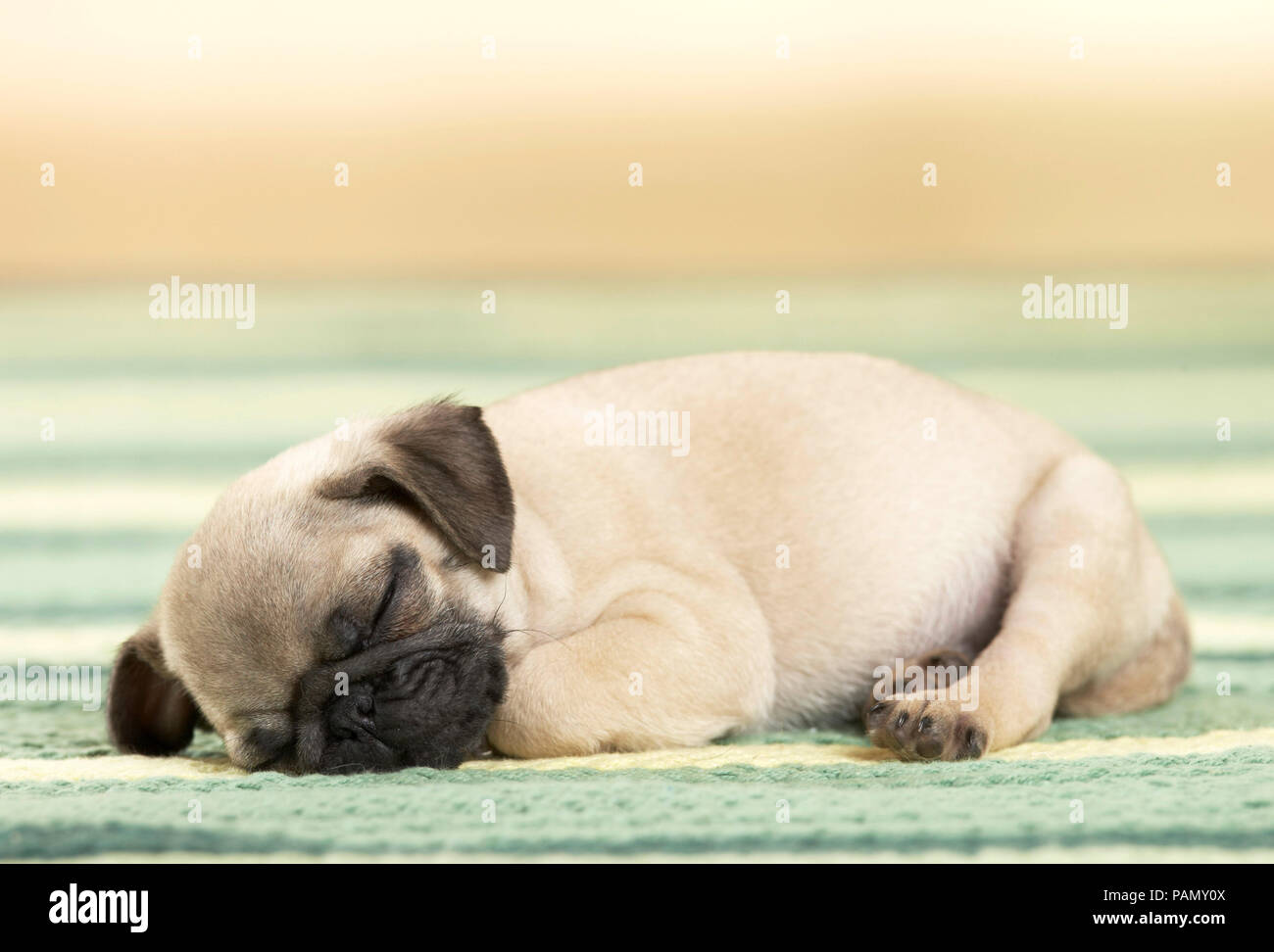 Pug. Puppy sleeping on a rug. Germany - Stock Image