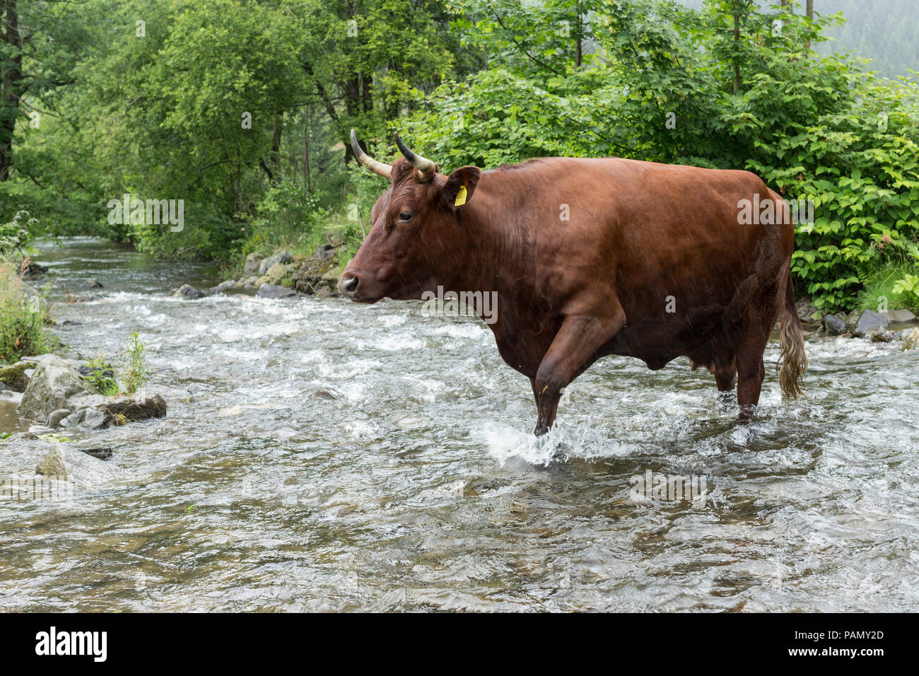 Harzer Rotvieh. Cow crossing a stream. Germany. - Stock Image
