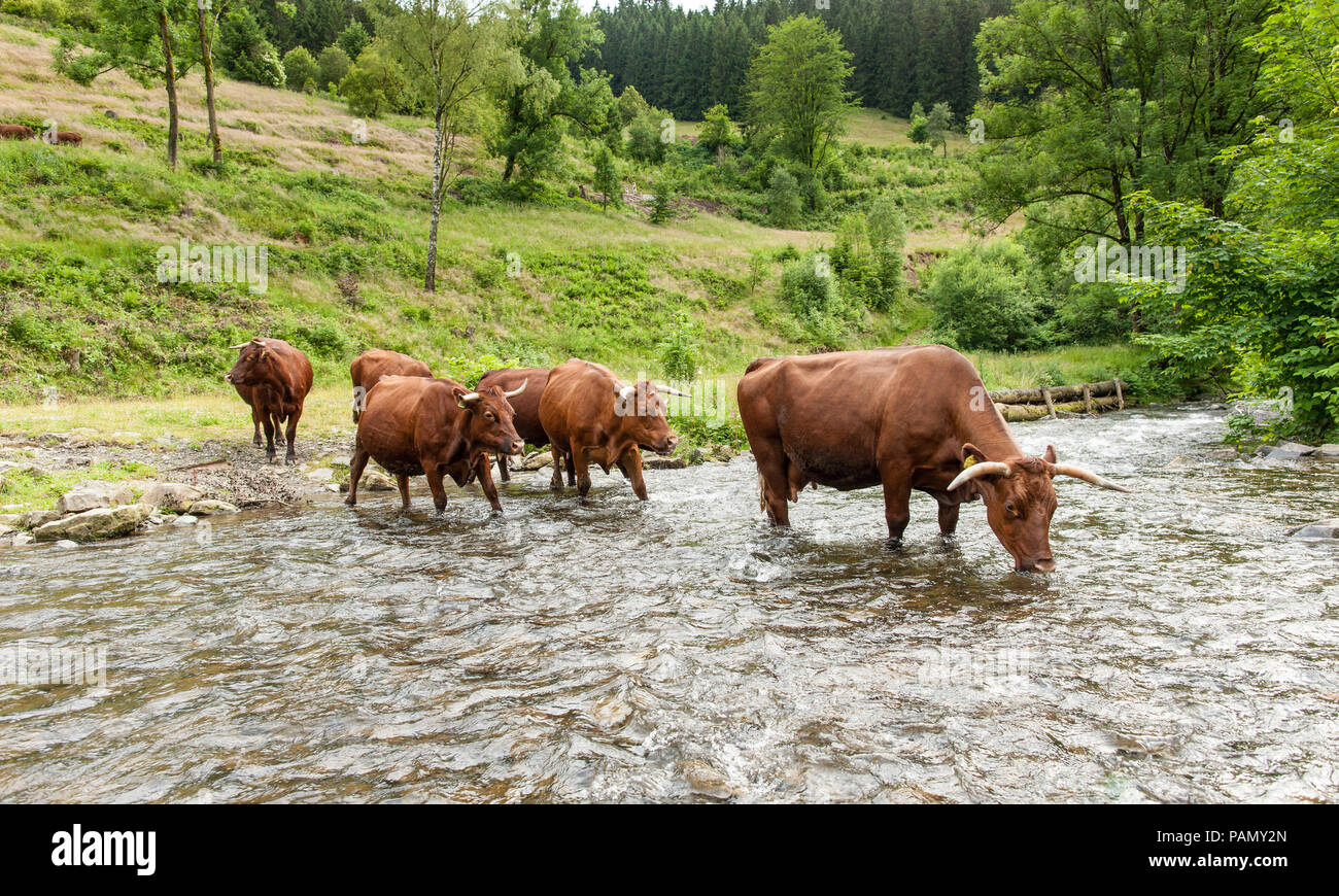 Harzer Rotvieh. Small herd drinking from a stream. Germany. - Stock Image