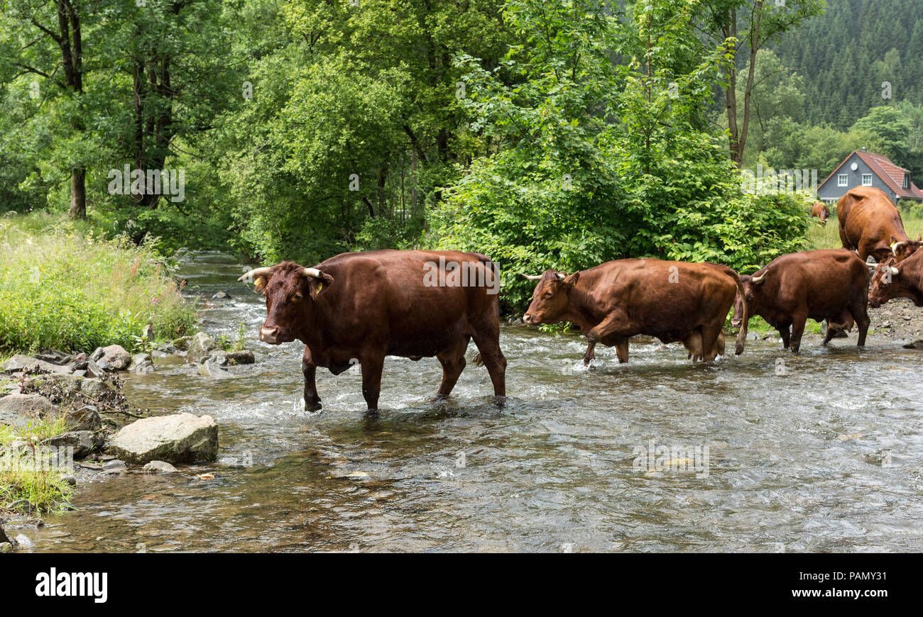 Harzer Rotvieh. Small herd crossing a stream. Germany. - Stock Image