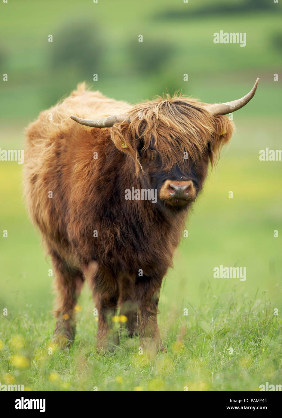 Highland Cattle. Single individual standing on a pasture. Germany - Stock Image