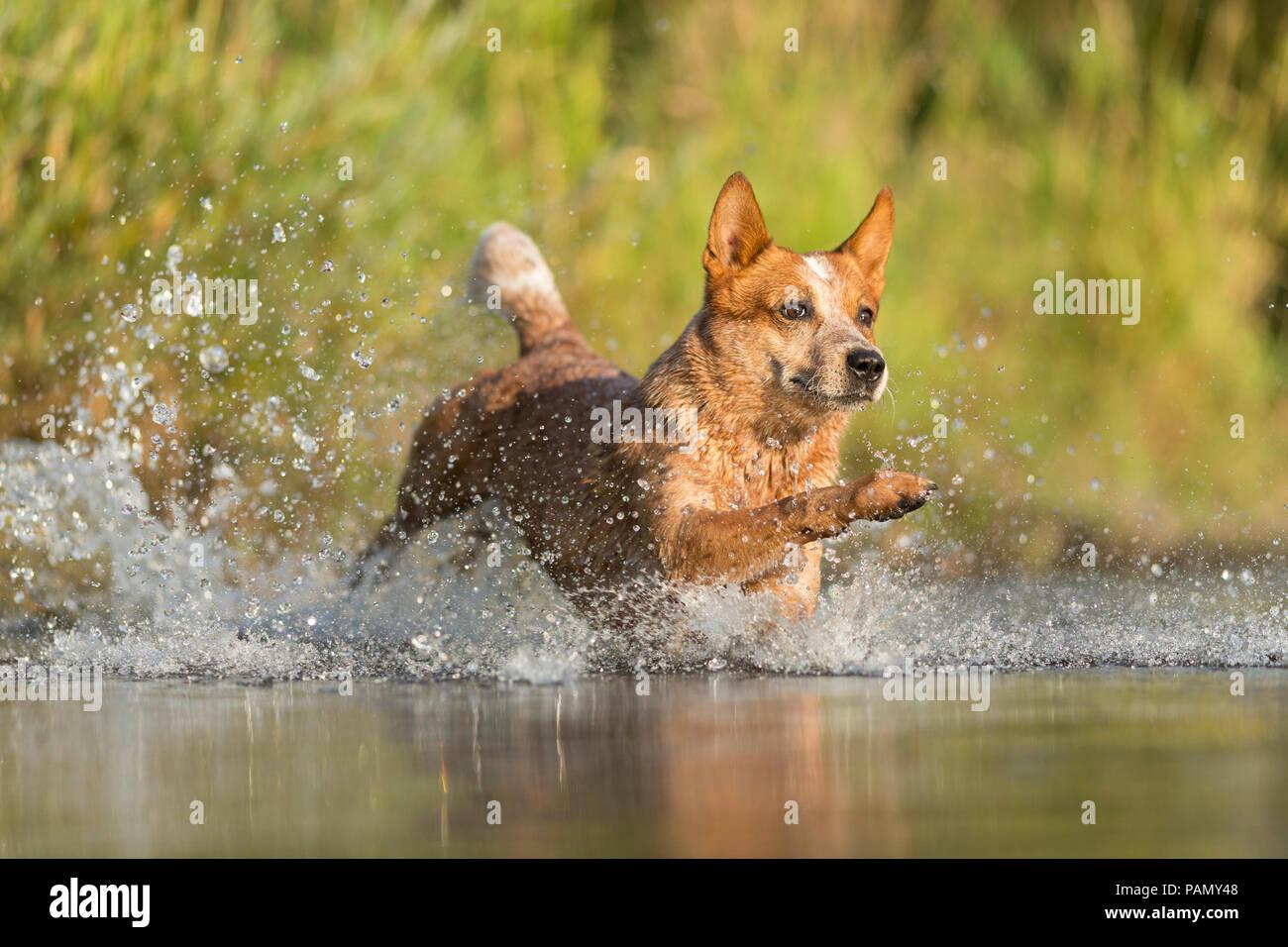 Australian Cattle Dog running through splashing water. Germany.. Stock Photo