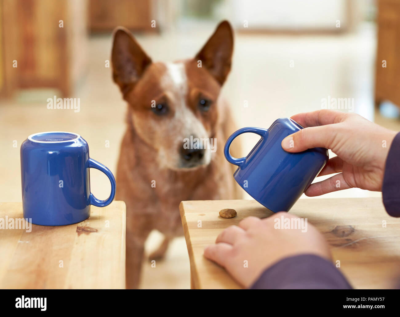 Australian Cattle Dog watches as a treat is hidden under a mug, intelligence test. Germany. - Stock Image