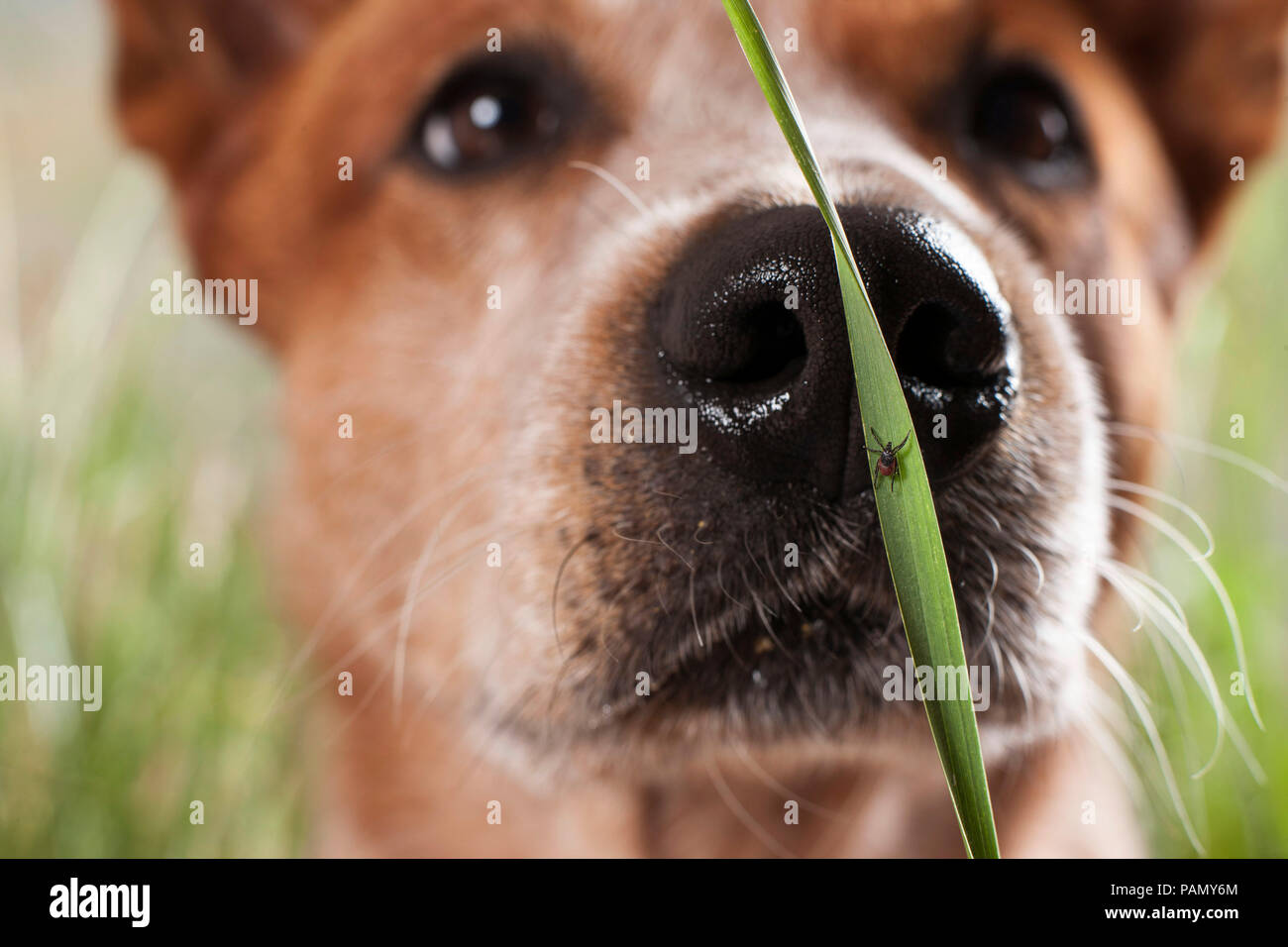 Castor Bean Tick (Ixodes ricinus). Female on a blade of grass with Australian Cattle Dog in background. Germany - Stock Image