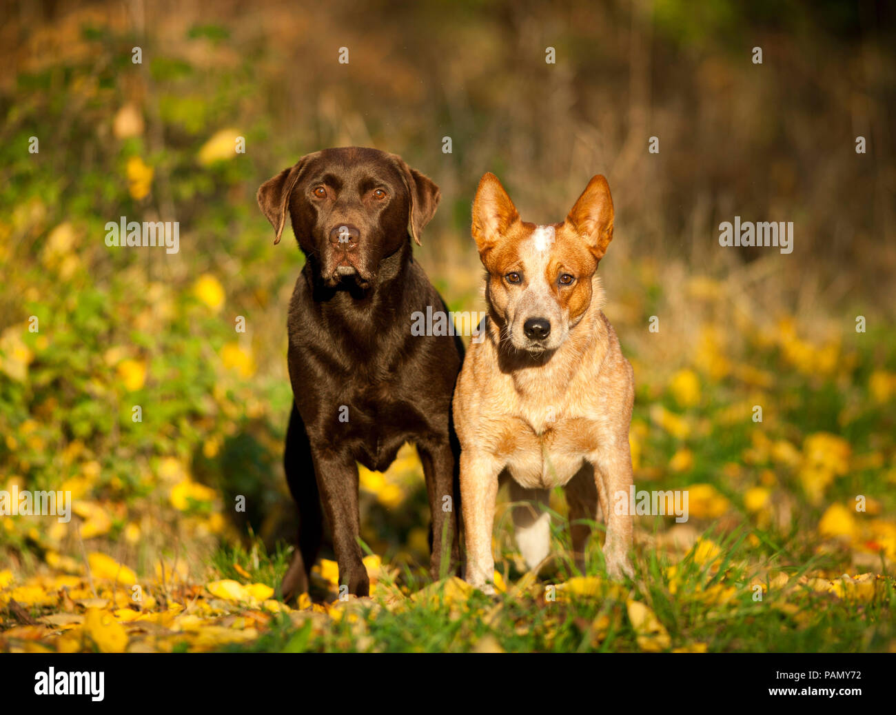 Labrador Retriever and Australian Cattle Dog  Two adults