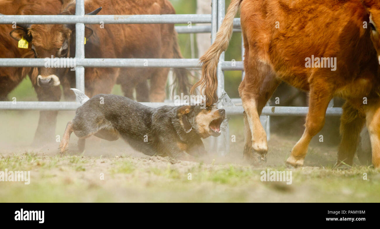 Australian Cattle Dog driving cattle, grabs a hind leg. Germany.. - Stock Image