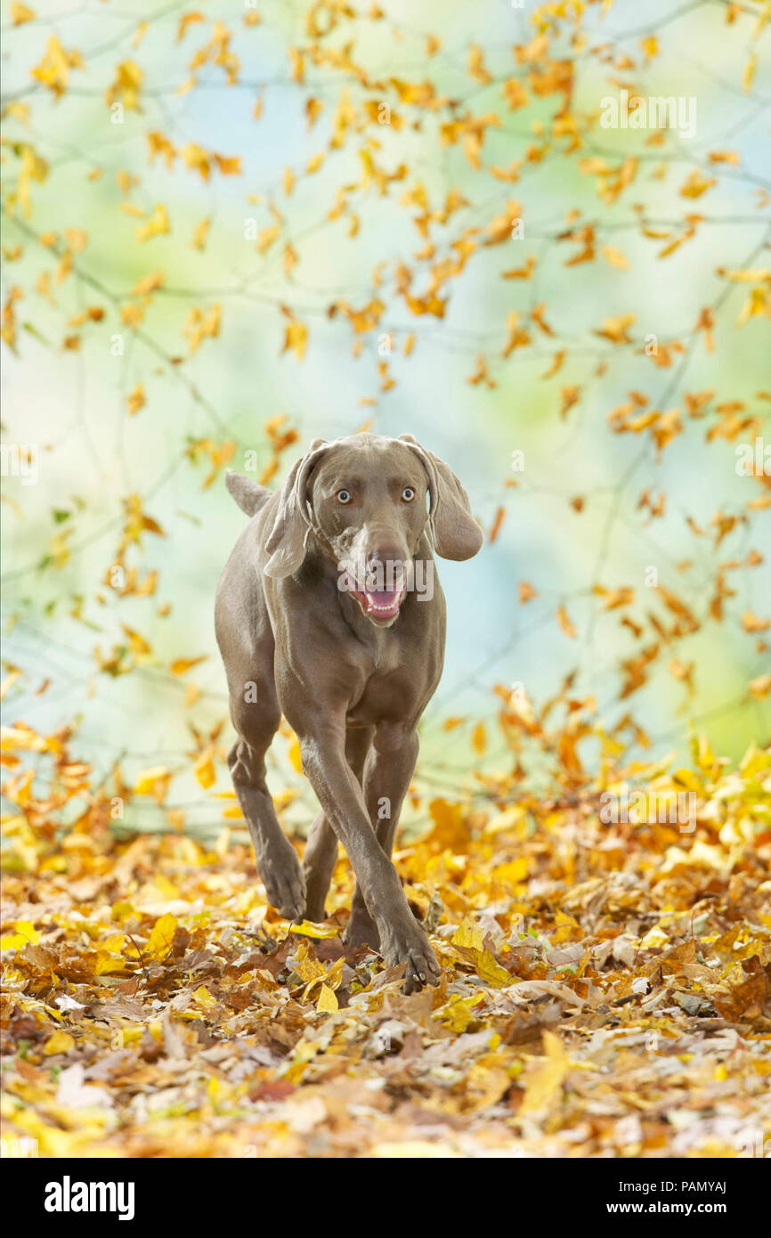 Weimaraner. Adult dog walking in leaf litter. Germany - Stock Image