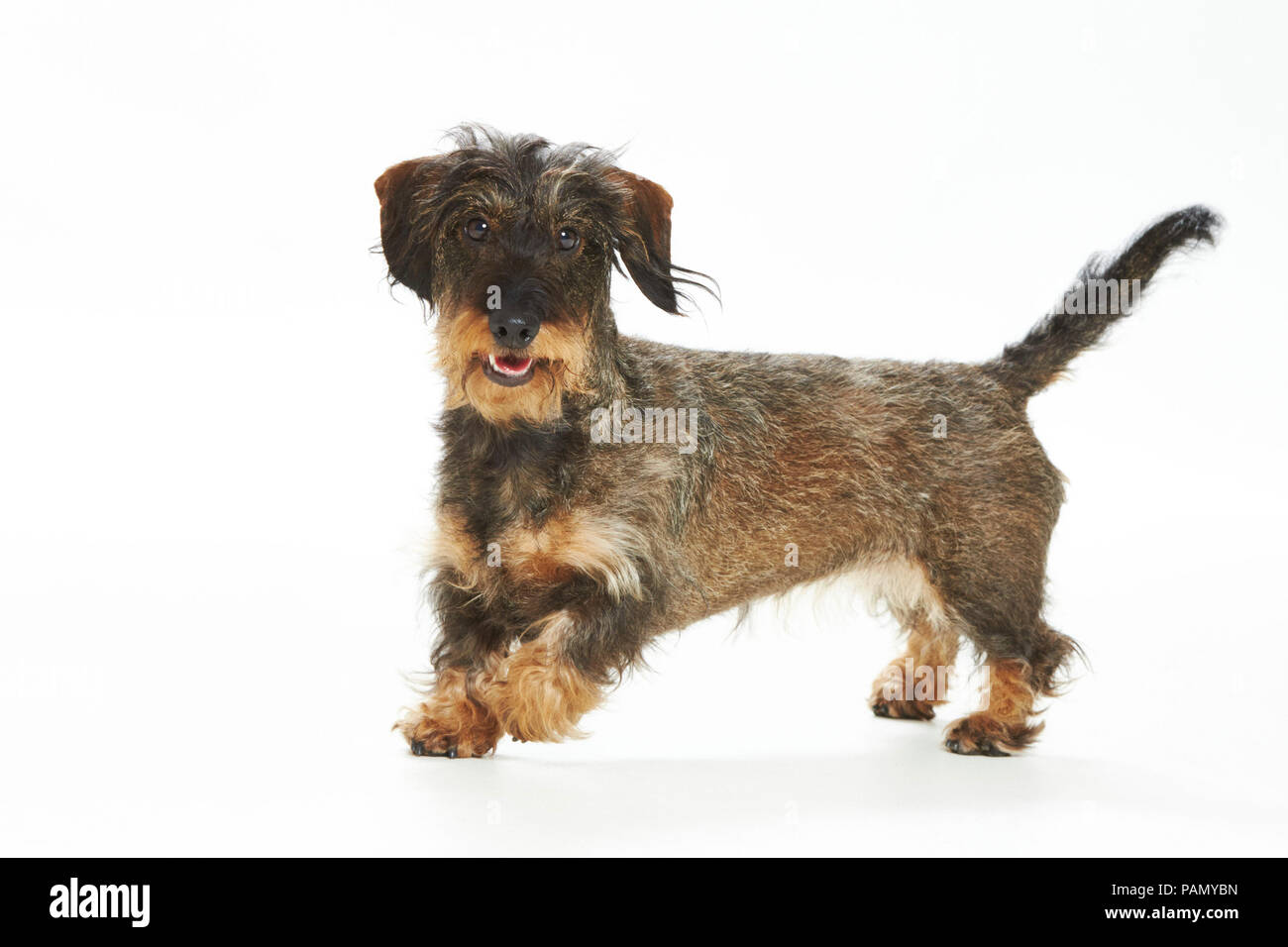 Wire-haired Dachshund. Adult dog running. Studio picture against a white background. Germany - Stock Image