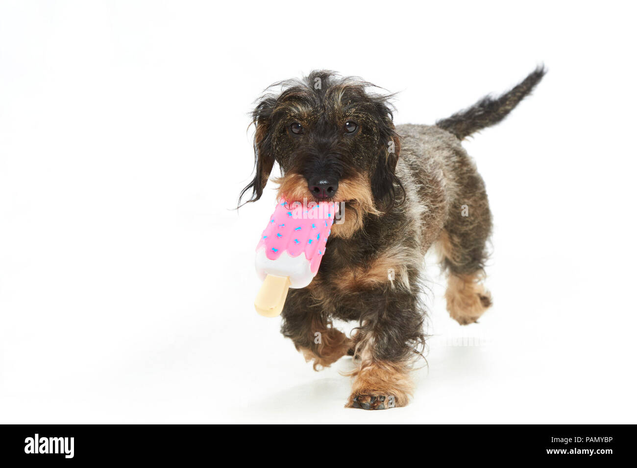 Wire-haired Dachshund. Adult dog carrying an ice toy. Studio picture against a white background. Germany.. Stock Photo