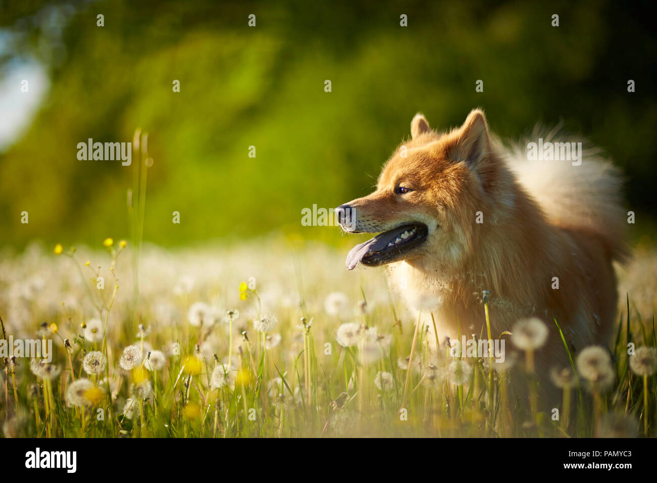 Eurasier, Eurasian. Adult dog standing in a meadow with böwballs. Germany - Stock Image