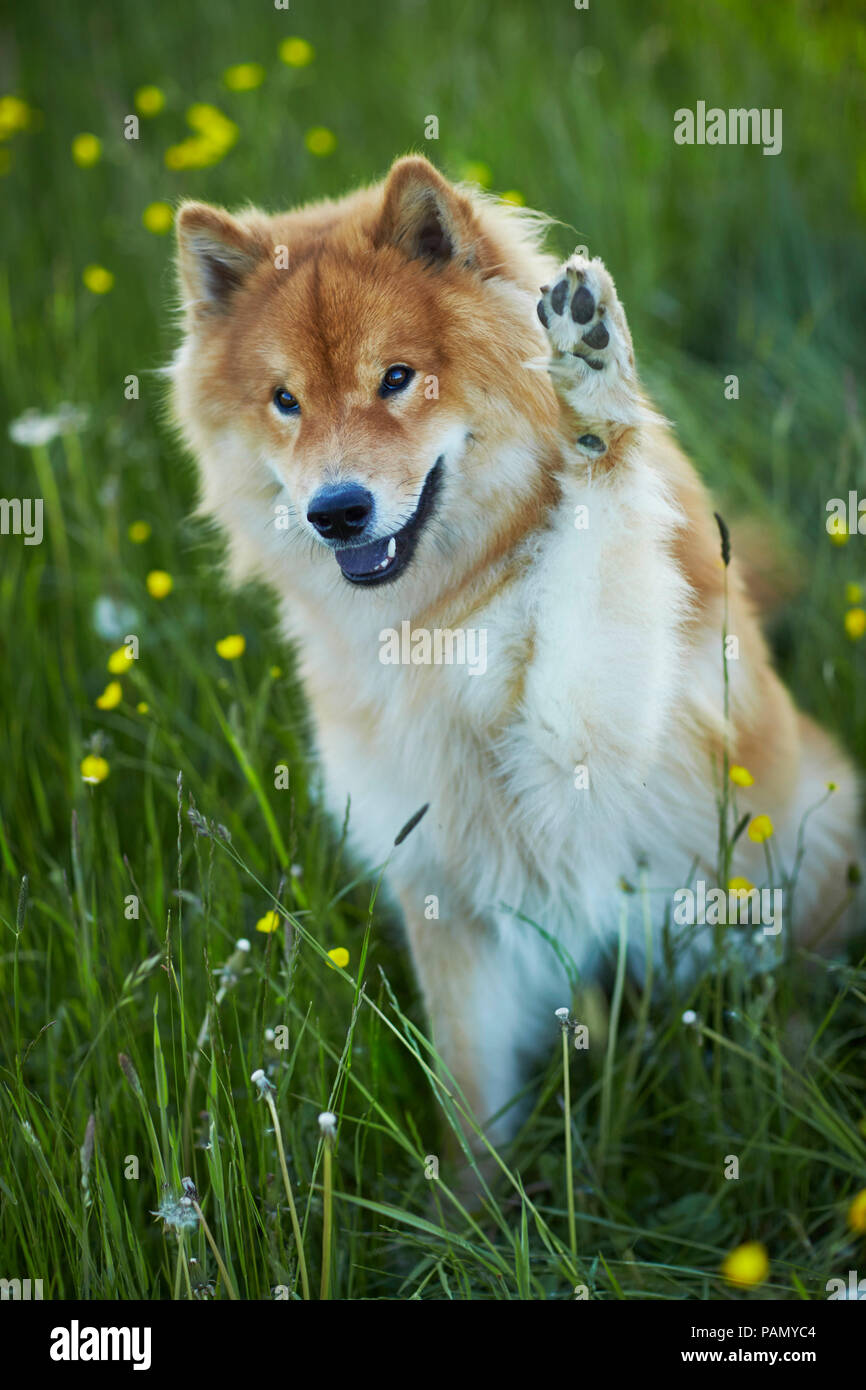 Eurasier, Eurasian. Adult dog sitting in a meadow, with forepaw raised. Germany - Stock Image