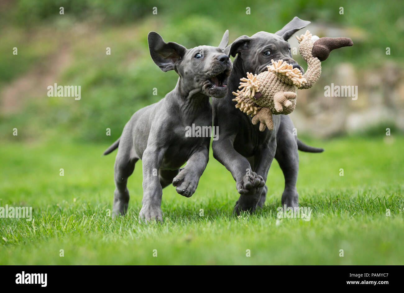 Great Dane. Two puppies tugging at a plush toy. Germany - Stock Image