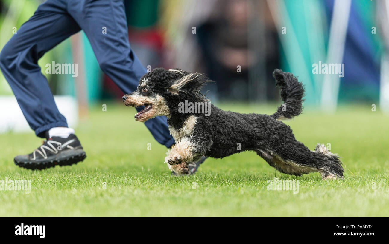 Standard Poodle. Adult races in an agility course beside its owner. Germany - Stock Image